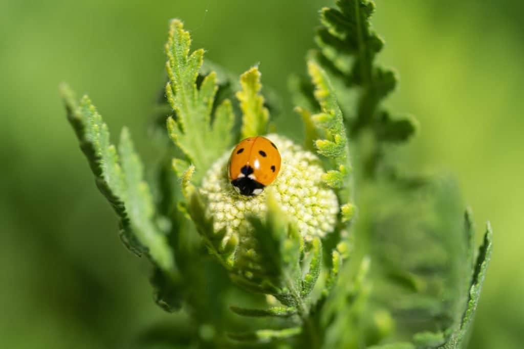Marienkäfer-Coccinellidae
