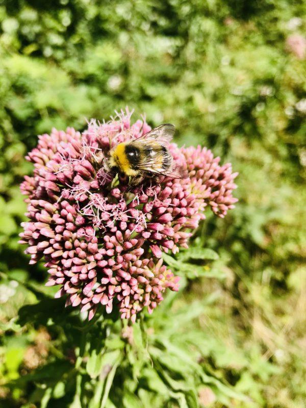 bienen sammeln nektar