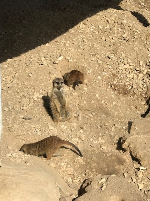 Erdmännchen im Hochwildschutzpark