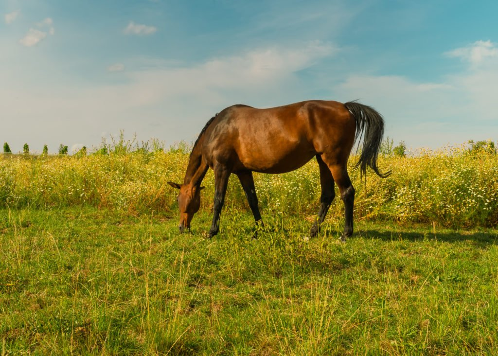 pferd-wiese