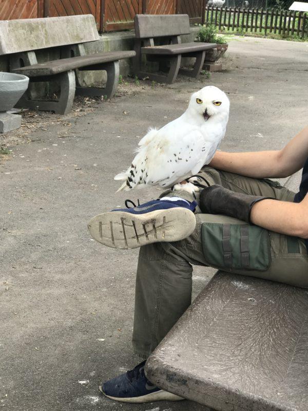 schneeeule-im-vogelpark-bobenheim-roxheim