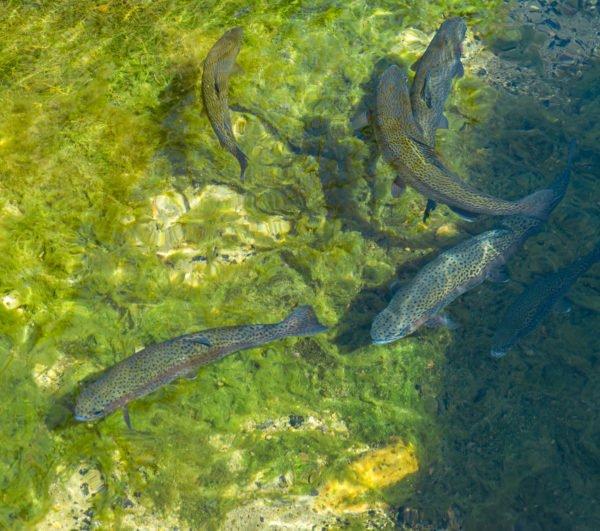 Fisch füttern Seebachquelle Westhofen