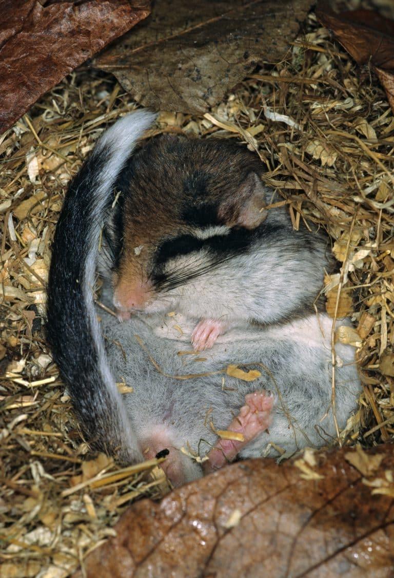 gartenschlaefer im winterschlaf